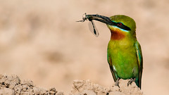 Blue Tail Bee Eater (Dr. Farhan) Tags: blue green bird dragonfly wildlife tail hunting bee tailed eater