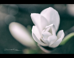 Before it's gone. (smoothna) Tags: flowers macro nature petals poland magnolia smoothna