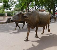 Street Cows (chdphd) Tags: cows khajuraho