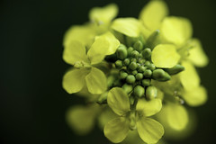 Spring Yellow (mikalo79) Tags: plants flower color macro green nature spring colorful purple tokina