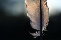 Struktur (Annica Spjuth) Tags: struktur motljus fjäder fotosondag fs160508