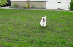 "5/12A ~ ""Run Riley Run!"" (ellenc995) Tags: ball riley westie run westhighlandwhiteterrier coth supershot abigfave pet500 pet100 rubyphotographer challengeclub naturallywonderful thesunshinegroup 12monthsfordogs16"