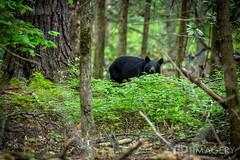 Black Bear (AP Imagery) Tags: bear usa mountains nature forest spring woods tn hiking cove kentucky gatlinburg wilderness blackbear cadescove cades
