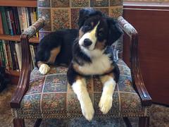 What do you mean, OFF the chair? (sturner404) Tags: dog puppy echo aussie australianshepherd