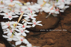 Tung blossom in Malingkeng (Whitefox Chen) Tags: white flower nature canon taiwan   keelung 6d canon70300mm tungblossom