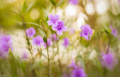 purple blossom (Piaklim) Tags: morning flowers light plant flower green yard garden flora purple