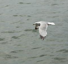 Ring-billed Gull at Sugar Beach.jpg (FotoReliq) Tags: toronto nature birds gull lakeontario ringbilled sugarbeach