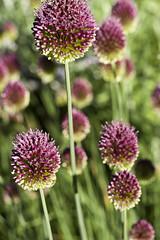 Allium explosion (Shotaku) Tags: flowers plants plant flower macro closeup bulb garden purple group bunch bulbs