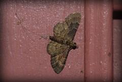 Larentiinae (dustaway) Tags: australia lepidoptera nsw geometridae arthropoda lismore insecta larentiinae northernrivers australianmoths