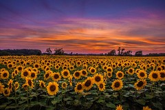 Sunflower Sunset in Hillsborough, New Jersey | Photography by @AnthonyQuintano (manbeachrm) Tags: sunrise sunrises sunrisesunset wintersunrise sunsetsunrise beforesunrise sunriseblvd tequilasunrise beautifulsunrise beachsunrise morningsunrise sunriseshell sunriseshells sunriser sunrisebeach sunrisephotography sunriselovers sunriseavenue sunriseave sunriselover sunriseoriginal sunriseporn instasunrise chasingsunrise sunrisehunter hnnsunrise sunriseoftheday sunrisereseller sunriselabel sunriseandsunsetworld piclogy