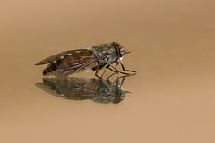 Fly reflection (Tworedheads01) Tags: reflection nature glass closeup canon bug fly wings eyes horsefly northwoods 7dii