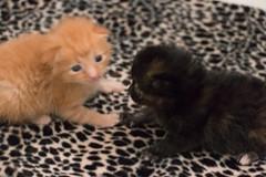 IMG_9461 (jaglazier) Tags: usa cats playing cute animals babies unitedstates tiger may indiana kittens siblings bloomington mammals blackie 2016 52416 copyright2016jamesaglazierandjamesaferguson