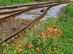 An den Bahnschienen (Wunderlich, Olga) Tags: landscape natur pflanzen steine landschaft deu stralsund mecklenburgvorpommern mohn schienen gleisbahn