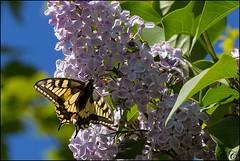 Papilio Machaon Gorganus (Corinne Cornu) Tags: fleur dordogne papillon insecte flore lilas faune papiliomachaongorganus plateaudargentine