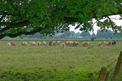 Herdentrieb - 2016 - 0002_Web (berni.radke) Tags: cows bovine khe rinder herde herdinstinct herdentrieb
