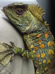 Gonochepalus chameleontinus (Andi Muhlis) Tags: animal dragon lizard chameleon indonesian hutan papuan kadal gonochepaluschameleontinus