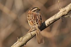Looking Back (Jan Nagalski) Tags: bird sparrow whitethroatedsparrow feathers nature wildlife mageemarsh ohio jannagalski jannagal blur backgroundblur bokeh depthoffield brown