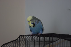 Steve (Andrew Davies Photography 2.0) Tags: pet bird budgie