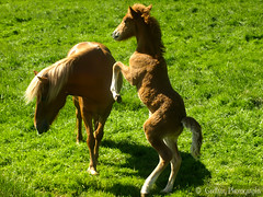 P L A Y T I M E (Gudlaug Photography) Tags: horses horse green animal animals garden zoo iceland mare reykjavik foal