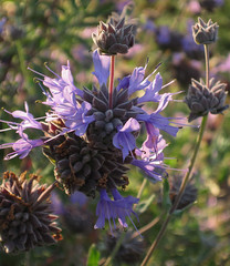 Tiny Purple Flowers With Just Natural Light (Robb Wilson) Tags: downtownla losangeles grandpark purpleflowers backlitflowers morninglight