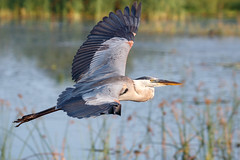 Great Blue Heron (Bill McBride Photography) Tags: great blue heron greatblueheron ardeaherodias bird avian nature wildlife ritchgrissommemorial wetlands viera melbourne fl florida spring june 2016 canon eos 70d ef100400l bif fly flying slbflying flight inflight