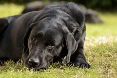 Fiaca de tarde (Mab.B) Tags: dog black labrador negro can perro mascotas profundidaddecampo airelibre nikond3200 expresion cuatropatas