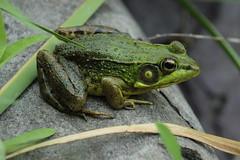 066 (historygradguy (jobhunting)) Tags: ny newyork animal amphibian upstate frog easton washingtoncounty