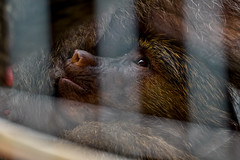 baby-olive-baboon-drinking-breast-milk-in-hamamatsu-zoological-gardens_260616 (kazua0213) Tags: zoo monkey sony sigma mc11