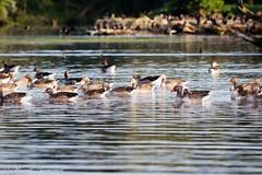 Geese (Kenjirio) Tags: summer animals wildlife zomer zandvoort amsterdamse 2016 waterleidingduinen waternet