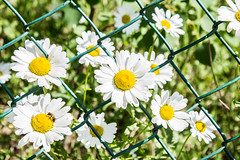 Wild chamomile flowers behind bars (mikhailanikaev) Tags: field depth flower sunlight blooming meadow many green chrysanthemum white spring lawn petal yellow bright sunny summer medicinal blossom camomile wildflower herbs daisy closeup chamomile numerous small shiny biology garden plain pasture group growth colorful plant formal beauty rural outdoors backgrounds herb scene beautiful nonurban nature purity botany landscape