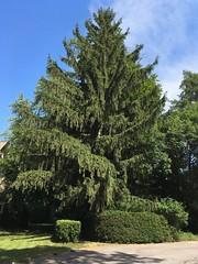"""Another """"Super Tree"""" I Missed (+David+) Tags: hugetree warnercastle imissedit"""