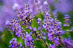 Scent of Lavender (Claudia G. Kukulka) Tags: plant flower field insect outdoor pflanze feld lavender bumblebee flowerbed impressionism blume insekt depth hummel lavendel impressionismus