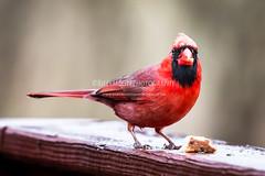 AK4A5486 (SFMedic) Tags: nature birds portraits canon outdoors spring birding visiting mothernature cardinals eventphotography 100400mmlens breadcumbs canon5dmarkiii billymcgeephotography wwwbabybluesproductionscom babybluesproductions