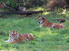 Amur Tigers (bookworm1225) Tags: zoo october 2014 minnesotazoo northerntrail tropicstrail