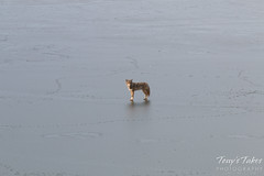 Male coyote on ice