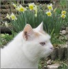 Mouna vient vous souhaiter un bon dimanche (Figareine- Michelle) Tags: chat jonquille bestofcats