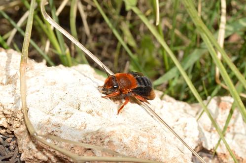 Megachile sicula (Chalicodoma sicula)
