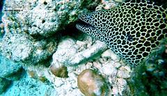 MORAY EEL (hassaan 2015) Tags: eel maldives dhivehi villingili morray hassaan raajje villimale sagarey