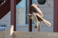 Red Tailed Hawk takes off with its meal
