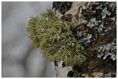 måssådått.... (KvikneFoto) Tags: moss natur mose lav