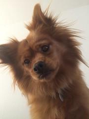(Faraz Zahabian) Tags: dog cute puppy happy pom photostream pomerania happydog pomchi happypuppy