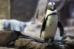 Strike A Pose Mr. Penguin (Shannon M Blake) Tags: animals zoo penguin