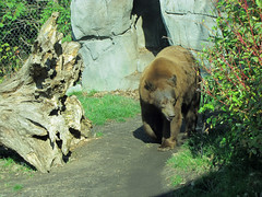 Bear (bookworm1225) Tags: zoo october minnesotazoo 2013 tropicstrail minnesotatrail
