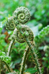 Curling Up Together (Patty Ballay) Tags: fern forest spring fronds fernfronds pattyballay