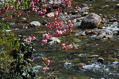 Fiori di primavera sul fiume (marvin 345) Tags: flower nature river fiume natura fiori altoadige merano