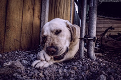 woody (shaneb1986) Tags: dog pet animal labrador sigma
