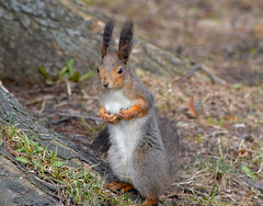 - Hi! I lost my brother. Have you seen him? (L.Lahtinen (nature photography)) Tags: squirrel suomi spring kevät nikon 55300mm orava kurre cute nature luonto animals countryside söpö flickr eartufts d3200 nikond3200 europe