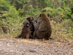 Olive baboon family in Awash National Park