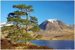Scots Pine Loch Dochard