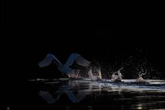 Whos afraid of the dark (mikanuorva) Tags: lake water swan takeoff jrvi joutsen tyyni